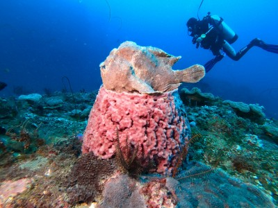 超可愛!大躄魚端坐海綿如海底雕像好萌啊