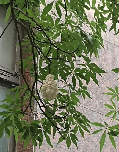 樹上有蜂窩!救難協會急衝現場 竟是爆開的美人樹果實…