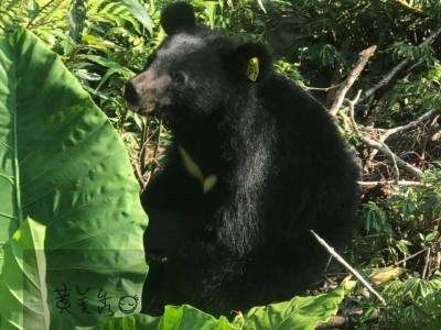 小熊野放一切安好!黑熊媽媽親自向網友報平安