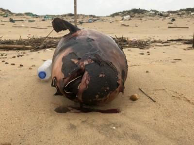 4天2起 金門海域又見江豚屍體