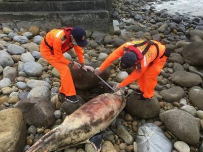 悲歌!保育類瓶鼻海豚擱淺苗栗海灘死亡