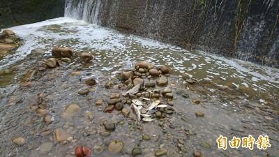 牛欄河上游又污染了! 關西水域魚群暴斃