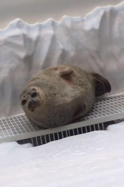 海豹被嚇醒「過2秒」又睡著 網笑翻:像發現遲到就繼續睡