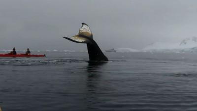 震撼!划獨木舟遇超大座頭鯨 竟如海豚溫柔與人互動