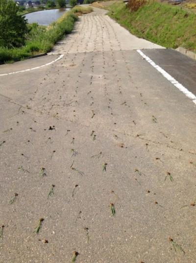 插秧機開到馬路上! 「栽種」畫面讓15萬網友笑瘋