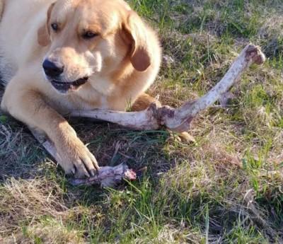 好厲害!熊熊疑似拿骨頭賄賂家犬 好讓自己安心翻垃圾