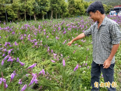 遊客「切西瓜」拍照 日月潭金針花、繡線菊慘歪腰