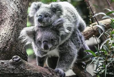 澳洲國寶無尾熊剩不到8萬隻 面臨「功能性滅絕」