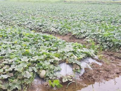 豪雨農損已逾千萬 木瓜受損最大宗