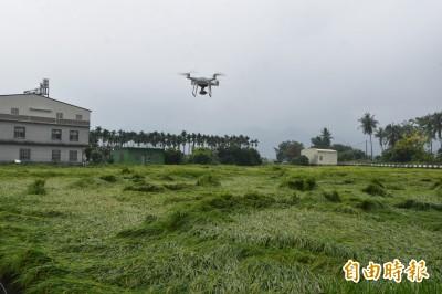 高雄水稻嚴重倒伏 農委會:美濃、旗山、杉林納天災救助