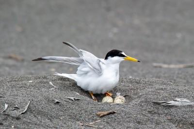小燕鷗宜蘭海邊繁殖  鳥友發聲護蛋勿讓鳥爸媽白忙