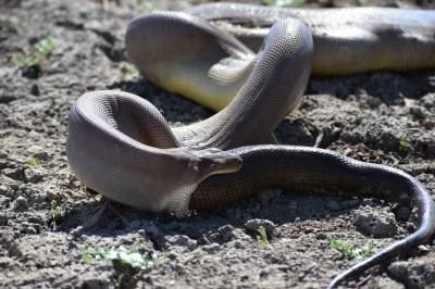 貪食蛇!蟒蛇想吞掉更大的蟒蛇 吞不下去吐出來了...