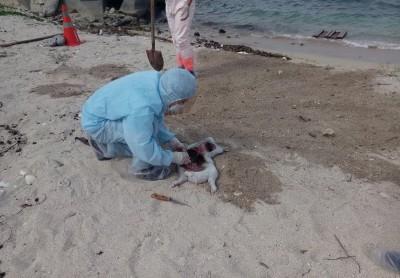 小琉球海邊驚見豬屍 採樣送驗緊急焚毀