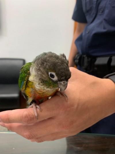 失鳥招領!飛失小鸚鵡惹愛憐 停在員警手上不怕生