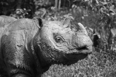 悲報! 馬來西亞最後一頭雄性蘇門答臘犀牛去世...