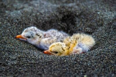 宜蘭海邊小燕鷗幼鳥陸續孵出  民眾驚呼萌翻了!