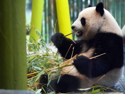 超萌吃貨!柏林動物園2貓熊 1年吃掉百萬歐元