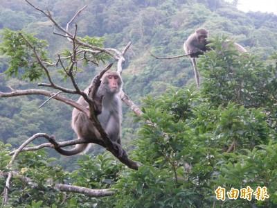 為農民除猴患出奇招  台東縣府擬辦「抓猴」大賽