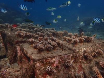 美!打造全台首座「珊瑚海洋花園」 澎湖復育有成