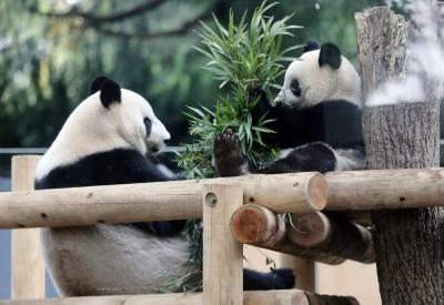每年付中國3千萬保護費!東京都預定明年底送還熊貓寶寶