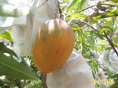 友善農法栽培芒果 他們14年努力種出「三贏」果實