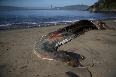 海洋悲歌!美西岸70頭灰鯨擱淺死亡 專家:非常罕見