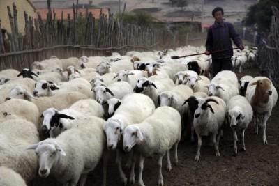 鄰國爆發羊疽病!中國急發公告禁止輸入相關製品