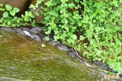 龍潭湖「鯝魚溯溪產卵」遲到 他更擔心「這群傢伙」已等著吃卵