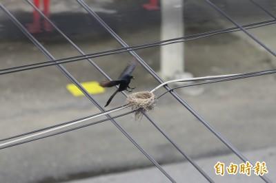 最強鳥巢!蓋在交錯電線上 風吹雨打1年不壞
