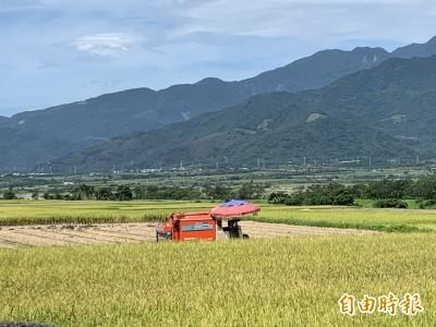 台東一期稻作爆倉 東區農協助收購