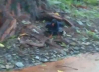 罕見畫面!台灣藍鵲大戰阿里山龜殼花 遊客邊拍邊哭