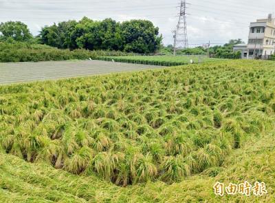 外星人傑作? 彰化驚見水稻集體「被綁架」