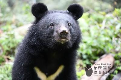 保育台灣黑熊 嘉義縣議員提議設自治條例