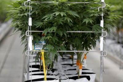 吸麻人數上升 中國指控錯在美國及加拿大