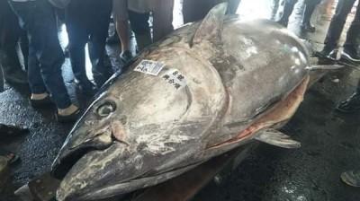 重達410公斤!東港拍賣全台最大「鮪」 刷新今年紀錄