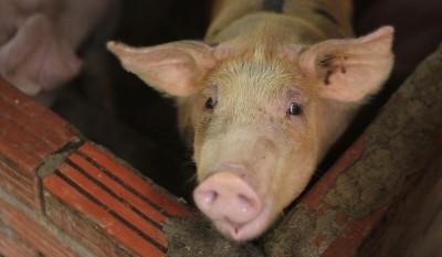 寮國也淪陷!通報發現首例非洲豬瘟病例