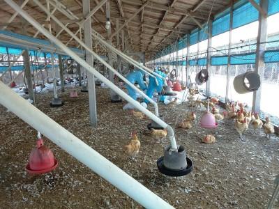 熱夏又傳禽流感 彰化土雞場撲殺近2.8萬隻