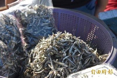 暖冬影響?白沙丁香魚季只見大丁 其他魚種不見蹤影