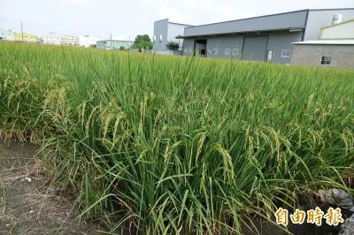 一期在來米大跌 農委會:收購價補足到每百台斤800元