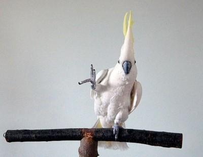 老師音樂請下!「跳舞鸚鵡」竟自創14種舞步
