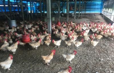 免驚!台南柳營養雞場未檢出禽流感病毒 雞隻也無異常死亡