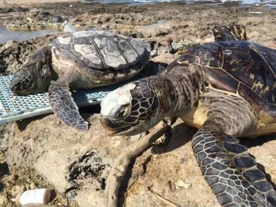 憾!半年內台灣48隻海龜擱淺亡 逾5成體內有人造廢棄物
