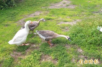 嫌鵝吵用熱水潑 彰化老婦涉虐待動物