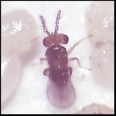秋行軍蟲橫行 農委會開發天敵「赤眼卵蜂」生物防治