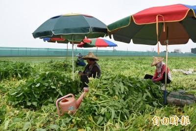 蔬菜供應青黃不接 颱風恐助長菜價
