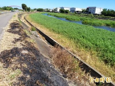 疑遭噴灑除草劑 竹北豆子埔溪畔綠帶枯黃一片