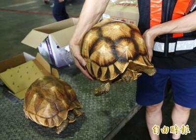 2隻要價逾250萬!台北關查獲地表最貴寵物龜