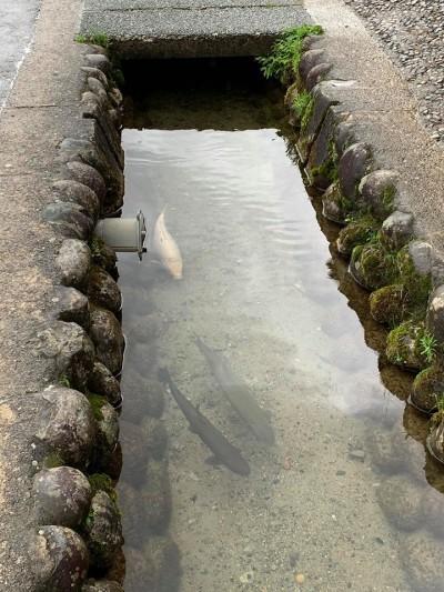 日本清澈水溝驚見肥美大魚! 網友嘆:台灣以前也是這樣