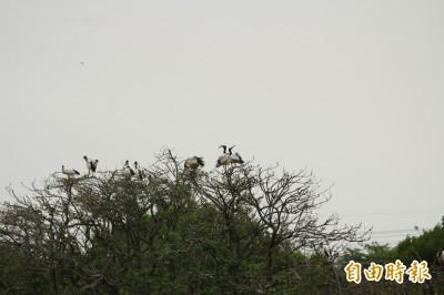 埃及聖䴉從墾丁「迷鳥」變林邊「留鳥」 鳥友驚:不妙!