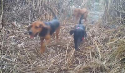 疑獵犬害石虎連3死 苗縣擬140縣道增禁犬獵區